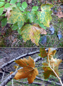 Image related to Gooseberry and Currant (Ribes spp.)-Blister Rust