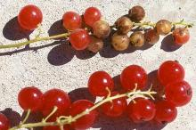 Red fruit clusters