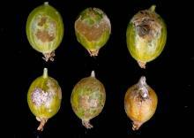 Six individual berries