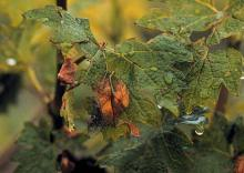 Image related to Grape (Vitis spp.)-Botrytis Bunch Rot