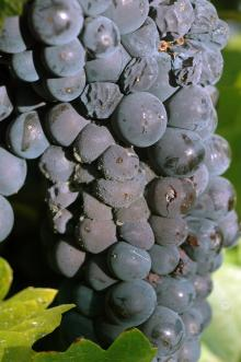A cluster of red grapes