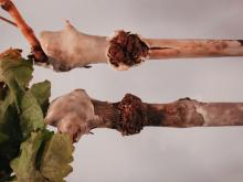 Image related to Grape (Vitis spp.)-Crown Gall