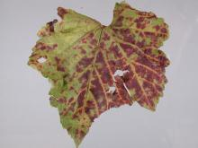 Image related to Grape (Vitis spp.)-Leafroll