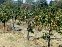 Image related to Grape (Vitis spp.)-Pierce's Disease