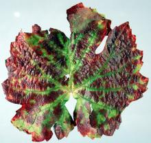 Image related to Grape (Vitis spp.)-Grapevine Red Blotch Disease