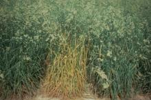 Image related to Grass for Seed-Stripe Rust