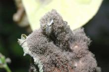 Image related to Greenhouse Plants, Ornamental-Gray Mold