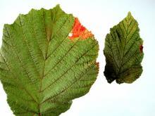 Image related to Hazelnut (Corylus avellana)-Bacterial Blight