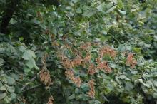 Image related to Hazelnut (Corylus avellana)-Eastern Filbert Blight