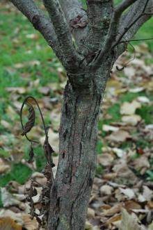 canker on resistant tree