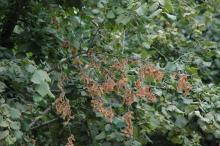 girdled branch