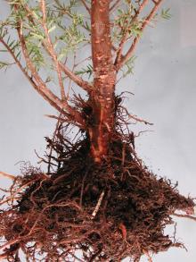 Image related to Hemlock (Tsuga spp.)-Phytophthora Root Rot