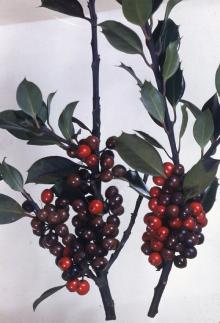 Image related to Holly (Ilex spp.)-Phytophthora Leaf and Twig Blight