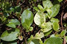 Image related to Honeysuckle (Lonicera spp.)-Yellow Vein