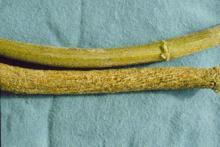 Image related to Hop (Humulus lupulus)-Abiotic Wilt