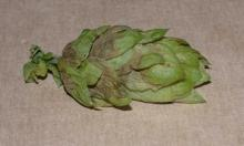 Image related to Hop (Humulus lupulus)-Downy Mildew