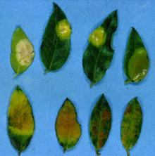 Image related to Huckleberry (Vaccinium spp.)-Leaf Gall