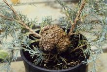 Image related to Juniper (Juniperus spp.)-Pear Trellis Rust