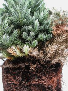 Image related to Juniper (Juniperus spp.)-Phytophthora Root Rot