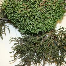Image related to Juniper (Juniperus spp.)-Witches' Broom
