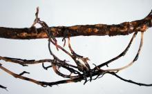 Image related to Kiwifruit (Actinidia spp.)-Root and Crown Rot