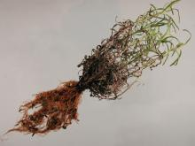 Image related to Lavender-Root Rot