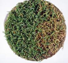 Image related to Lawn and Turf-Microdochium Patch (Pink Snow Mold)