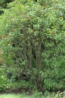 Image related to Lilac (Syringa spp.)-Root Rot