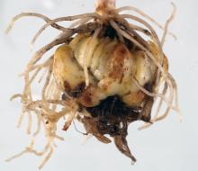 A lily bulb