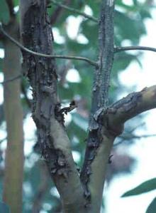 Image related to Madrone (Arbutus menziesii)-Canker