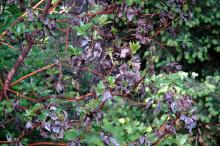 Image related to Madrone (Arbutus menziesii)-Leaf Spots and Blights