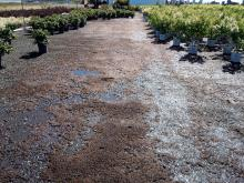 Image related to Management of the Cyanobacterium Nostoc in Horticultural Nurseries