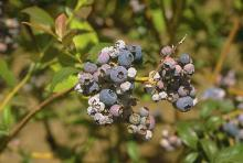 Image related to Blueberry (Vaccinium corymbosum)-Mummy Berry