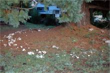 Image related to Lawn and Turf-Fairy Ring and Mushrooms
