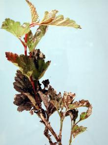 Image related to Ninebark (Physocarpus spp.)-Powdery Mildew