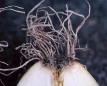 Image related to Onion (Allium cepa)-Fusarium Basal Rot