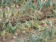 Image related to Onion (Allium cepa)-Iris Yellow Spot