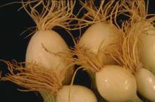 Image related to Onion (Allium cepa)-Nematode, Stubby-root