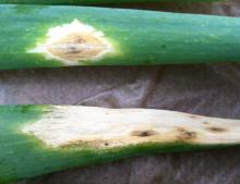 Purple blotch on detached onion leaves. Note the brown-colored center on the top leaf, surrounded by a white to yellowish ring. The brownish black, powdery fungal growth is apparent on portions of the leaf spots. Photo by Cynthia M. Ocamb, 2013.