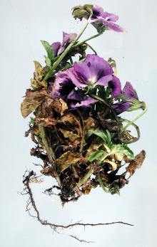 Image related to Pansy (Viola spp.)-Root and Crown Rot