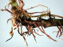 Image related to Pansy (Viola spp.)-Thielaviopsis Root Rot