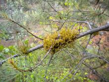 Image related to Parasitic Plants of Oregon
