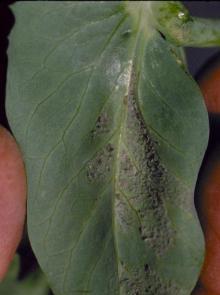 Image related to Pea (Pisum sativum)-Downy Mildew