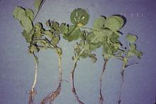 Image related to Pea (Pisum sativum)-Root Rots