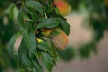 Image related to Peach (Prunus persica)-Brown Rot