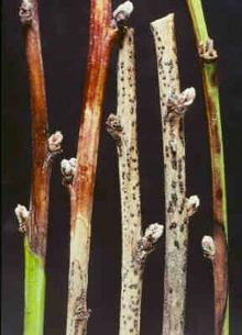 Image related to Peach (Prunus persica)-Cytospora Canker