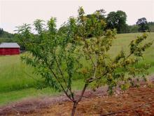 Image related to Peach (Prunus persica)-Leaf Curl
