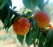 Image related to Peach (Prunus persica)-Plum Pox (Sharka)