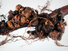 Image related to Pear (Pyrus spp.)-Crown Gall