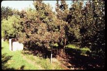 Image related to Pear (Pyrus spp.)-Decline